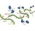 Researchers reveal molecular mechanism of autophagy initiation